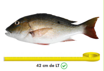 Pargo Cebal.
